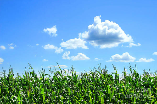 Cloud Digital Art - Field Of Corn In August by Sandra Cunningham