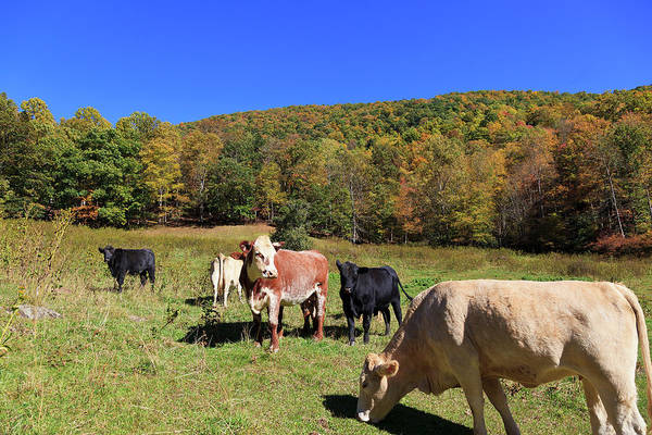 Photograph - Field Of Cows by Jill Lang