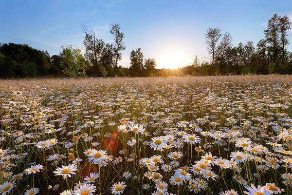 Photograph - Field Of Daisies by Andrew Kumler