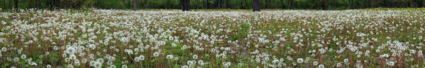 Photograph - Field Of Dandelions by Robert Harshman