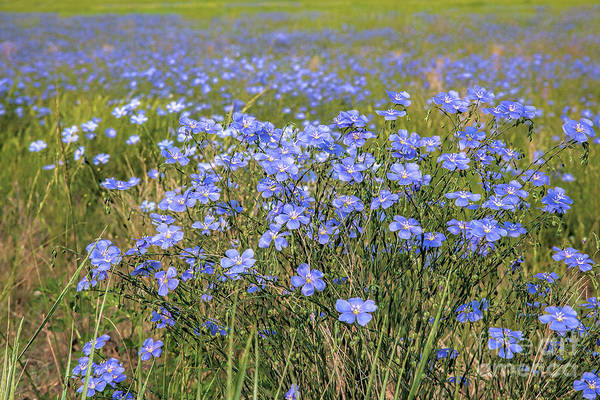 Photograph - Field Of Flax by Jim Garrison