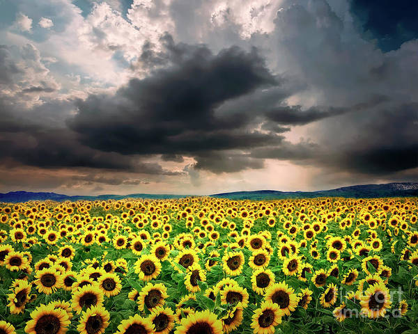 Photograph - Field Of Gold by Edmund Nagele