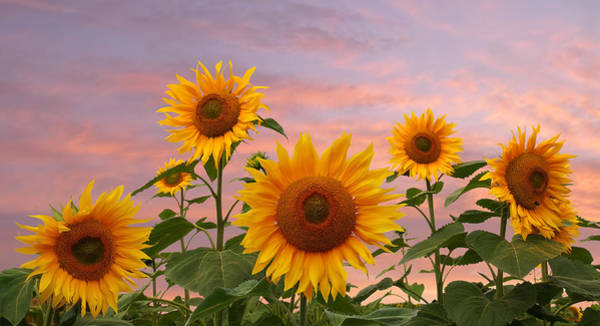 Photograph - Field Of Golden Sunflowers At Sunset by Gill Billington