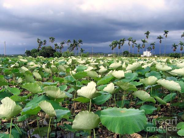 Lotus Seed Wall Art - Photograph - Field Of Lotus Flowers by Yali Shi