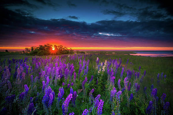 Wall Art - Photograph - Field Of Lupines At Sunrise by Dapixara Cape Cod Photography