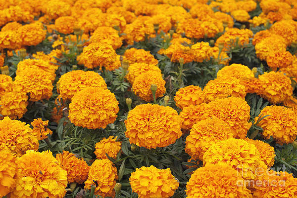 Photograph - Field Of Orange Marigolds by Cindy Garber Iverson