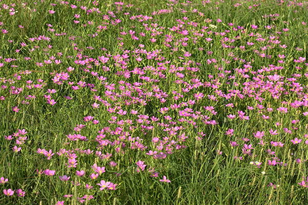 Photograph - Field Of Pink Wild Flowers by Sheila Brown