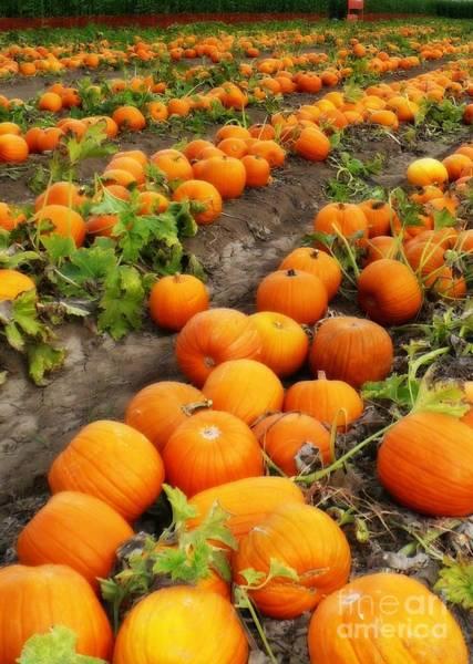 Photograph - Field Of Pumpkins Card by Carol Groenen