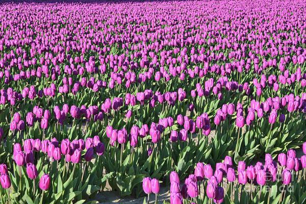 Photograph - Field Of Purple Flowers by Carol Groenen