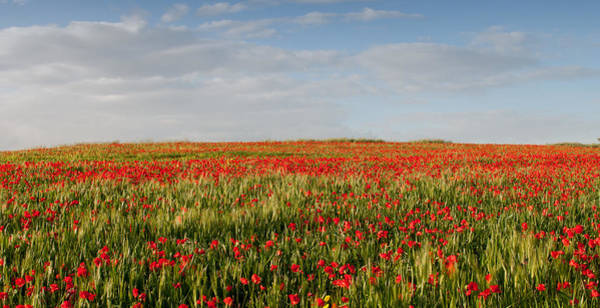 Scenery Wall Art - Photograph - Field Of Red Poppy Anemones Late In Spring  by Michalakis Ppalis
