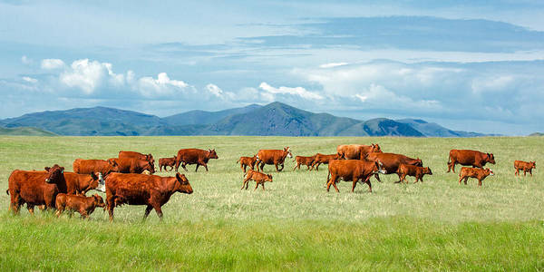 Livestock Photograph - Field Of Reds by Todd Klassy