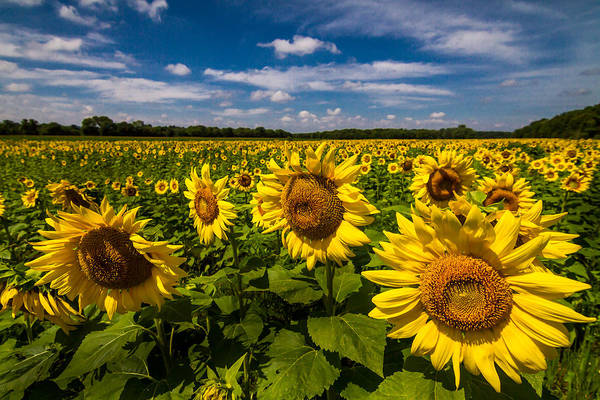 Photograph - Field Of Sun by Ron Pate