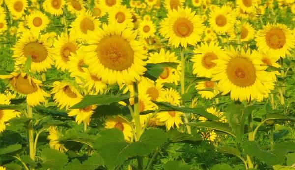 Photograph - Field Of Sunflowers by Buddy Scott