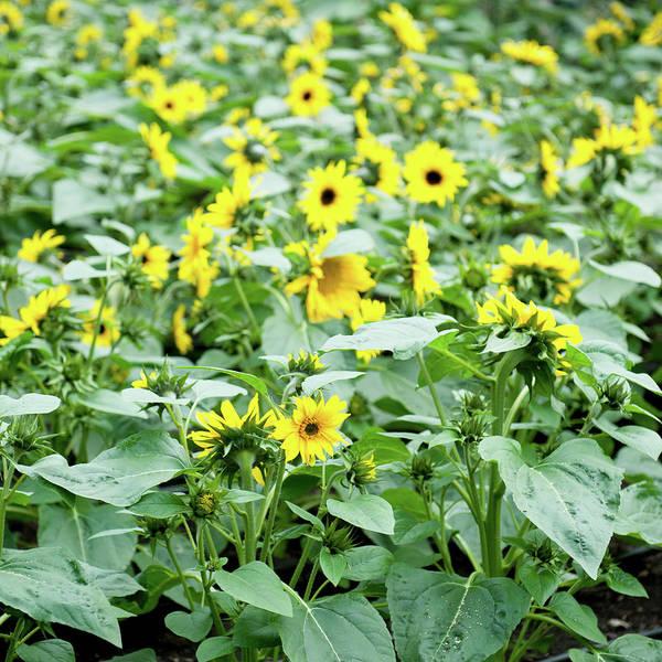 Photograph - Field Of Sunflowers by Helen Northcott