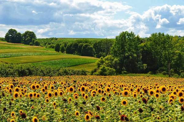 Photograph - Field Of Sunflowers by Joseph Caban