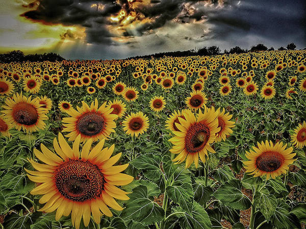 Photograph - Field Of Sunflowers by Roberto Pagani