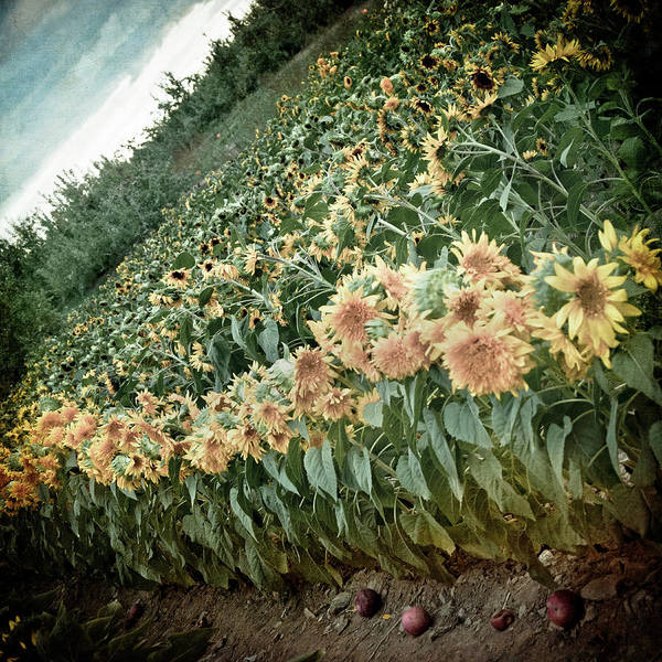 Photograph - Field Of Sunflowers - Vintage Farm Art by Joann Vitali