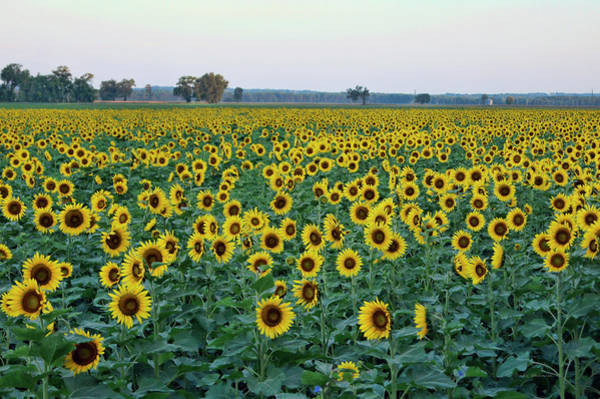 Photograph - Field Of Sunshine by Cricket Hackmann