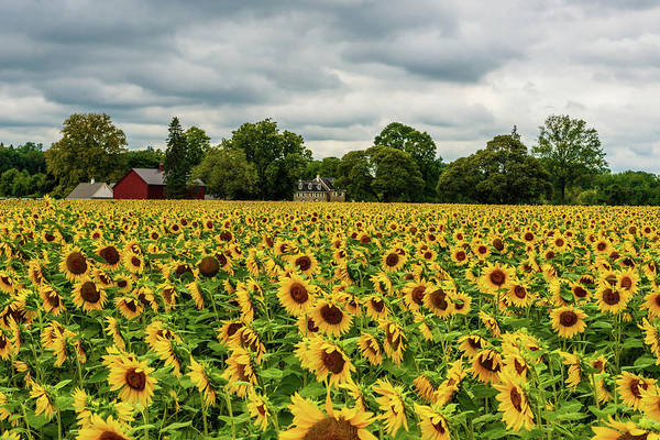 Photograph - Field Of Sunshine by Louis Dallara