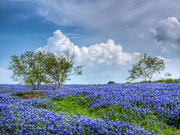 Texas Bluebonnet Photograph - Field Of Texas Bluebonnets by David and Carol Kelly