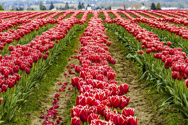 Photograph - Field Of Tulip Dreams by Teri Virbickis