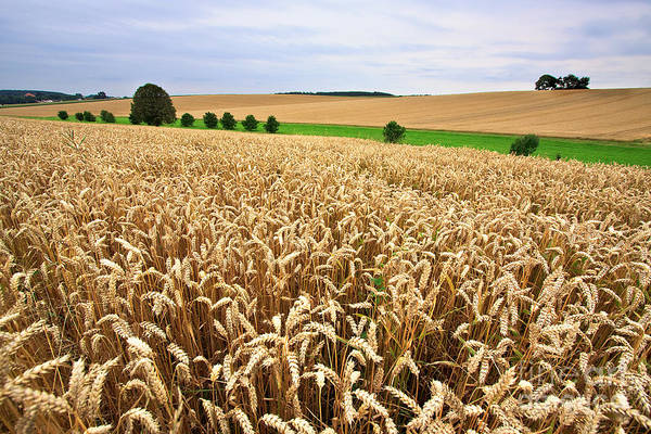 White Background Wall Art - Photograph - Field Of Wheat by Nailia Schwarz