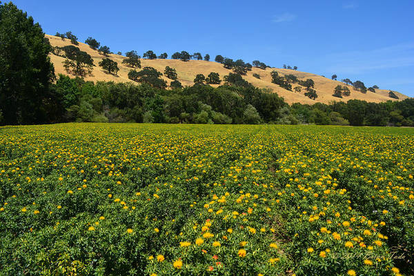 Photograph - Vacaville Flower Field by Brian Tada