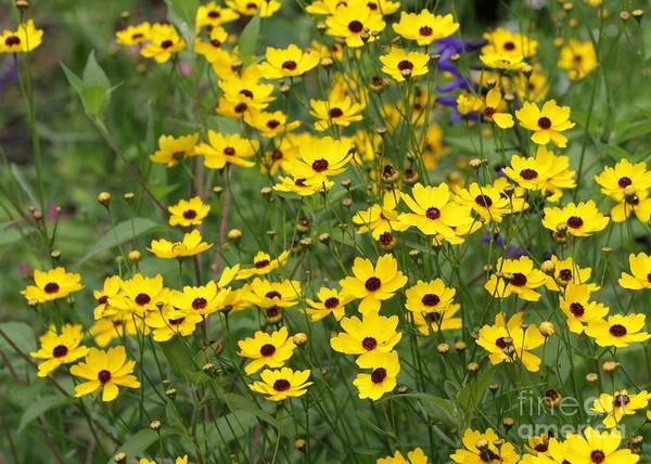 Photograph - Field Of Yellow Flowers by Sabrina L Ryan