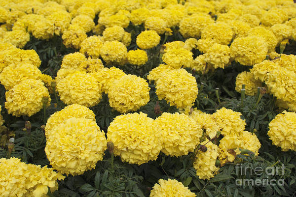 Photograph - Field Of Yellow Marigolds by Cindy Garber Iverson