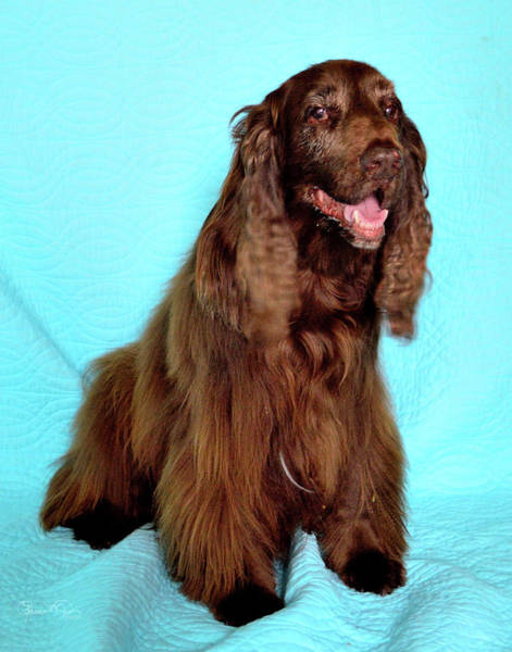 Photograph - Field Spaniel Portrait by Susan Molnar