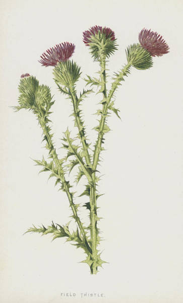 Thistle Wall Art - Painting - Field Thistle by Frederick Edward Hulme