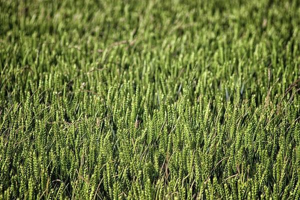 Cornfield Photograph - Fields Of Corn by Martin Newman