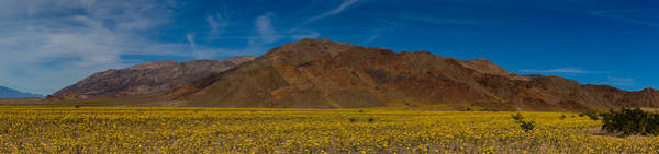 Furnace Creek Photograph - Fields Of Desert Gold - Death Valley National Park by Bridget Calip