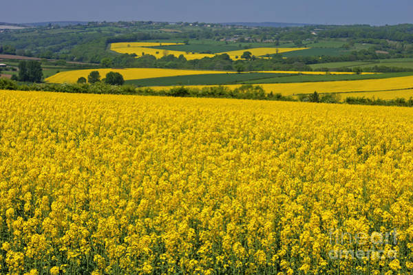 Photograph - Fields Of Gold by David Birchall