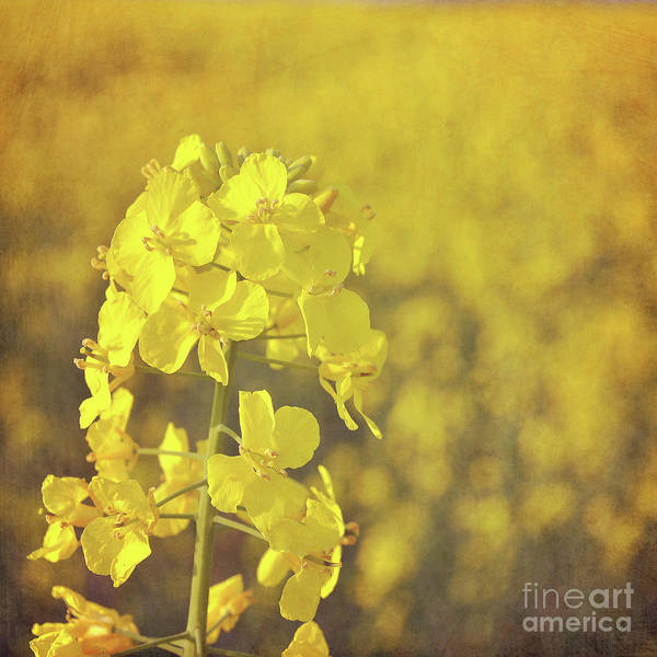 Wall Art - Photograph - Fields Of Gold by Lyn Randle