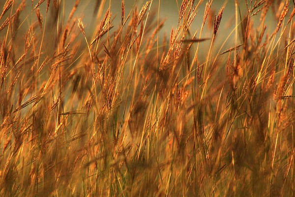 Photograph - Fields Of Golden Grains by Emanuel Tanjala