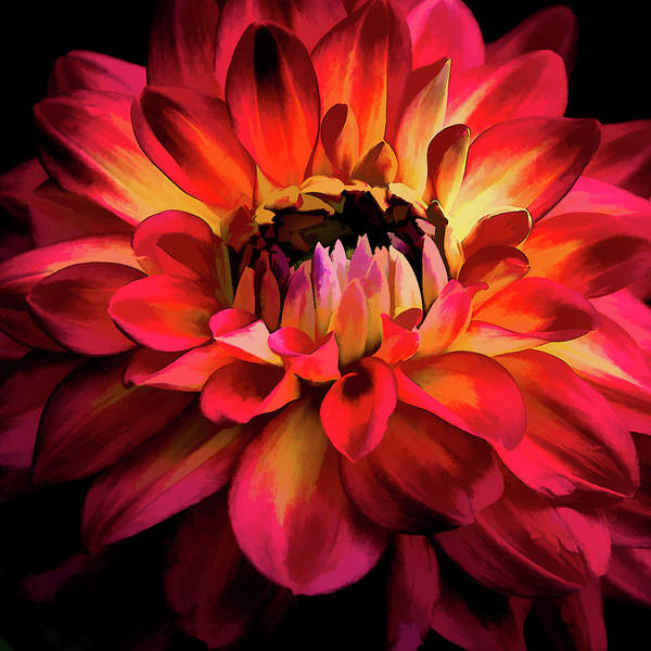 Photograph - Fiery Red Dahlia by Julie Palencia