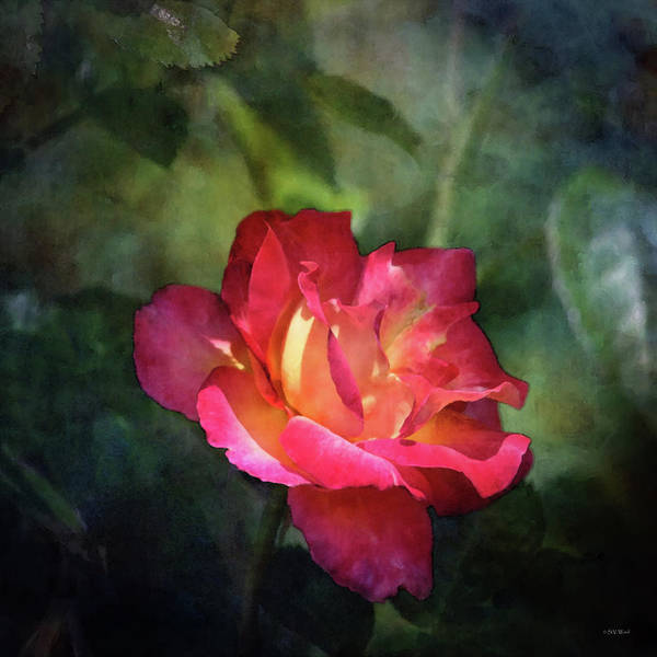 Photograph - Fiery Rose 0985 Idp_2 by Steven Ward
