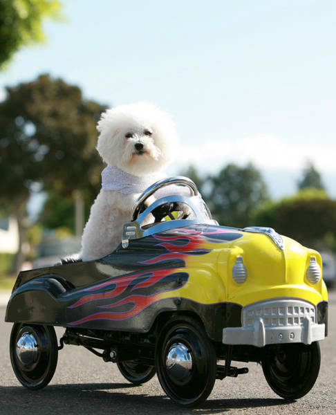 Pedal Car Wall Art - Photograph - Fifi Goes For A Car Ride by Michael Ledray