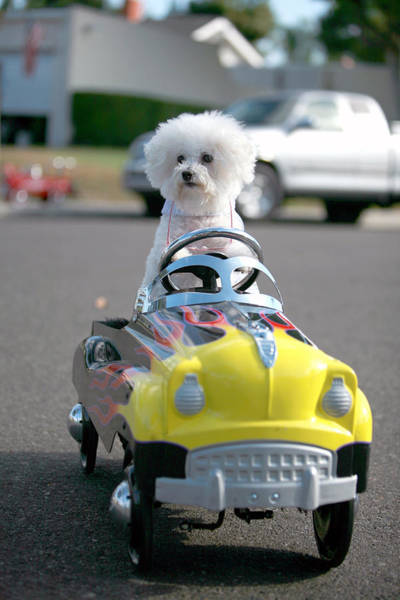 Pedal Car Wall Art - Photograph - Fifi Goes For A Ride by Michael Ledray
