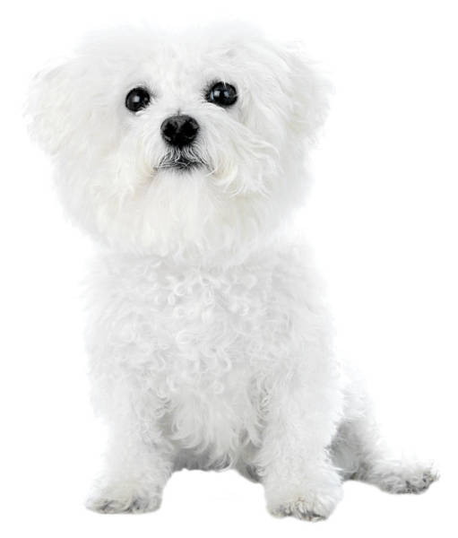 Wall Art - Photograph - Fifi The Bichon Frise In White On White by Michael Ledray