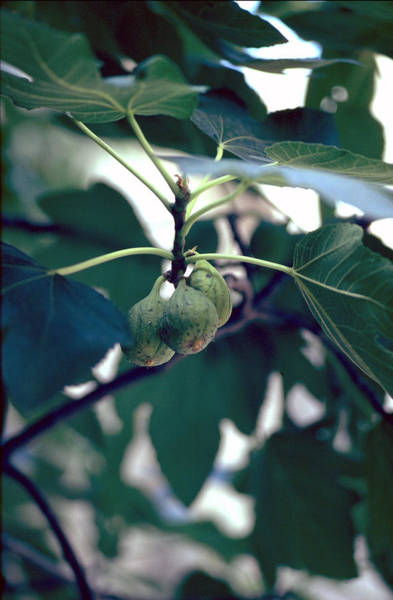Photograph - Fig by Flavia Westerwelle
