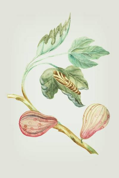 Mixed Media - Fig Tree Branch With Caterpillar By Cornelis Markee 1763 by Cornelis Markee