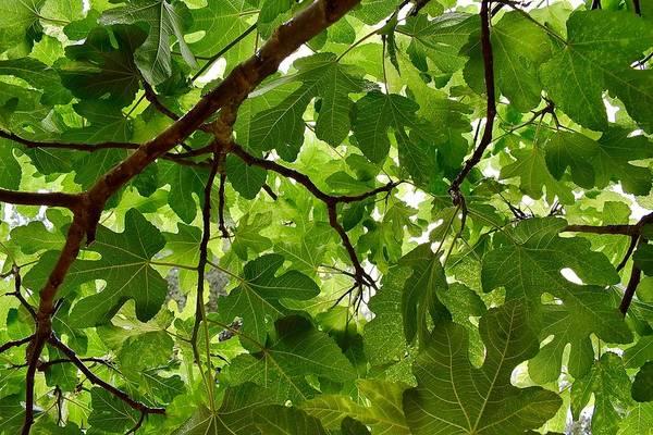 Photograph - Fig Tree by Sagittarius Viking