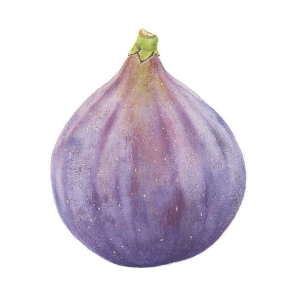 Painting - Fig Watercolor by Zapista Zapista
