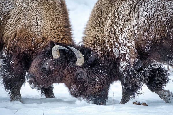 Photograph - Fighting Bison - Yellowstone by Stuart Litoff