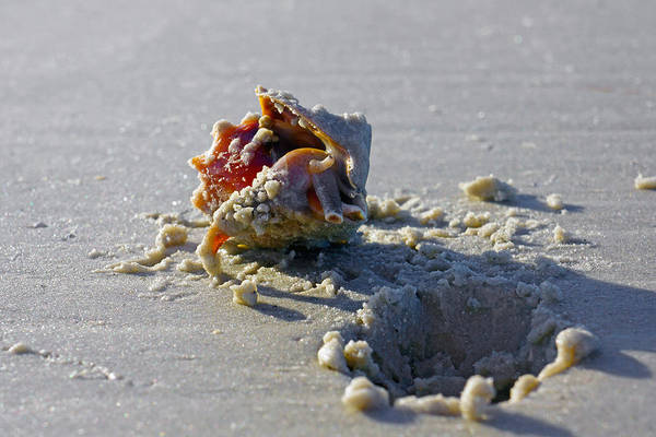 Photograph - Fighting Conch On The Beach by Robb Stan