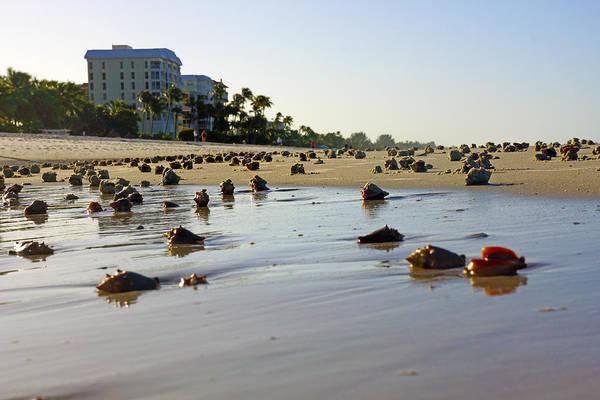 Fighting Conchs At Lowdermilk Park Beach In Naples, Fl  Art Print