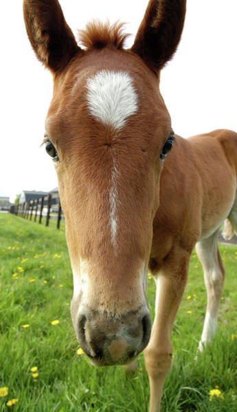 Photograph - Filly Face by Kathi Shotwell