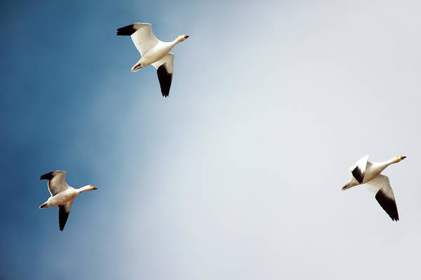 Mother Goose Photograph - Final Approach Of 3 by Todd Klassy